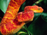 African Bush Viper Photographic Print by David Northcott