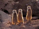 Meerkats in the Phoenix Zoo, Arizona, USA Photographic Print by Charles Sleicher
