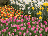 Tulip and Daffodil Garden at Tulip Festival, Skagit Valley, Washington Photographic Print by Jamie & Judy Wild