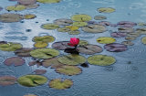 Waterlilies Print by Hank Gans