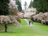 Cherry Trees Blossoming in the Spring, Washington Park Arboretum, Seattle, Washington, USA Photographic Print by Jamie & Judy Wild