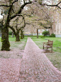 Cherry Trees in Bloom at the Quad, University of Washington, Seattle, Washington, USA Fotografie-Druck von Jamie & Judy Wild
