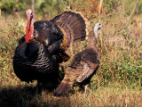 Wild Turkey Tom and Hen Photographic Print by Art Wolfe