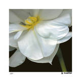 O'Keeffe Jonquil Limited Edition by Pip Bloomfield