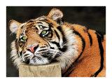 Lazy Tiger Plakaty autor Toni Wallbank