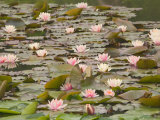 Water Lilies, Japanese Garden, Washington Park Arboretum, Seattle, Washington, USA Photographic Print by Jamie & Judy Wild