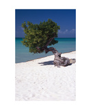 Eagle Beach with a Fofoti Tree Aruba Photographic Print by George Oze