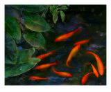 Koi Pond II Photographic Print by Anna Miller