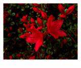 Blazing Azalia Photographic Print by Sandra Harris