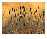 Fall Cattails Photographie par Gene Cyr