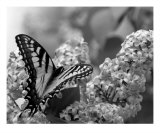 Swallowtail And Lilacs Photographic Print by Andrea Ferguson