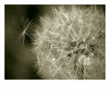 Seedy Dandelion Photographic Print by Mary Lane