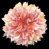 Orange Dahlia Art by Linda Mcvay