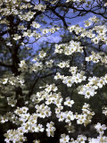 Dogwood Tree Covered in White Flowers in the Ozarks Fotografisk tryk af Andreas Feininger