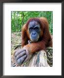 Female Oragutan, Gunung Leuser National Park, Bukit Lawang, North Sumatra, Indonesia Poster by Paul Kennedy