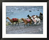 Llamas And Their Handler Walking And Carrying Goods, Puno, Peru Posters by Eric Wheater