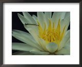 Damselfly on a water lily flower Prints by Sam Abell