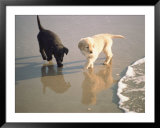 Two Retriever Pups Walk in the Surf at a Beach Prints by Bill Curtsinger