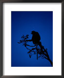 Silhouetted proboscis monkey (Nasalis larvatus) Print by Mattias Klum