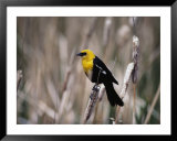 View of a yellow-headed blackbird perched on top of a cattail Art by Bates Littlehales