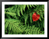 Mountain bindweed and fern fronds Print by Bates Littlehales