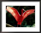 Scarlet Ibis, Sao Paulo, Brazil Posters by Berndt Fischer