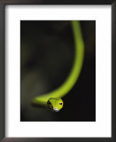 A rain forest whip snake Art by Mattias Klum