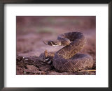 A Western diamondback rattlesnake stands coiled and ready to strike Print by Joel Sartore