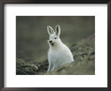 A Yawning Arctic Hare Posters by John Dunn