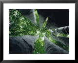 View looking up the trunk of a sycamore tree Posters by Paul Zahl