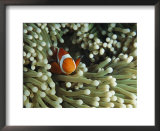 Clown anemonefish in sea anemone, Pacific Ocean Poster by Joe Stancampiano