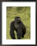 Male Mountain Gorilla (Gorilla Gorilla Beringei) Standing in Grass Art by Roy Toft