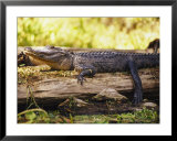American Alligator on a Log Posters by Richard Nowitz