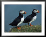 Pair of Atlantic Puffins Perch on a Grass-Covered Cliff Prints by Sisse Brimberg