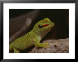 Madagascar gecko, bred in captivity at Fort Worth Zoological Parks reptile facility Posters by Bates Littlehales