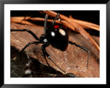 A black widow spider Prints by George Grall