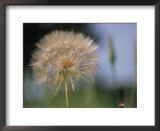 A close view of a dandelion seed head Print by Heather Perry