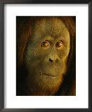 Orangutan (Pongo Pygmaeus) Posters by Richard Nowitz