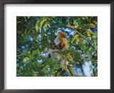 A proboscis monkey with her twin babies Posters