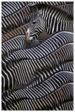Grevy's Zebras Prints
