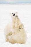 Playful Polar Bears Print