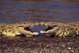 Kissing Crocs Posters