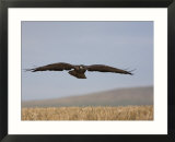 Buzzard (Buteo Buteo), Flying Over Farmland, Captive, Cumbria, England, United Kingdom Affiches par Steve & Ann Toon