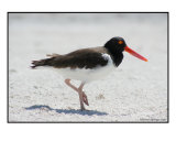B-3 (American Oyster Catcher) Photographic Print by Michael Springer
