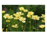 Field Of Buttercup Flowers Photographic Print by Takuo Hirata
