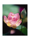 Awakening Pink Lotus Photographic Print by George Oze