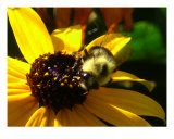 Bumble Bee Enjoying Yellow Daisy Photographic Print by Sally Stoneking