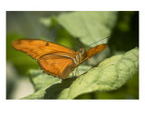 Julia Helicondra Butterfly Resting On A Green Leaf Photographic Print by Kim Riddle