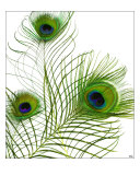 Peacock Feather Trio Photographic Print by Tcherek Kamstra