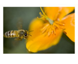 Honey Bee Flying By California Poppy Flower Orange Photographic Print by Kim Riddle